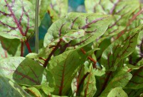 Kwas szczawiowy w diecie roślinnej