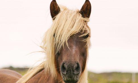 Pozyskiwanie końskiego włosia.